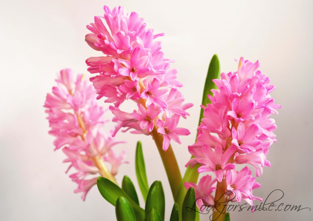 hyacinth flowers birthday