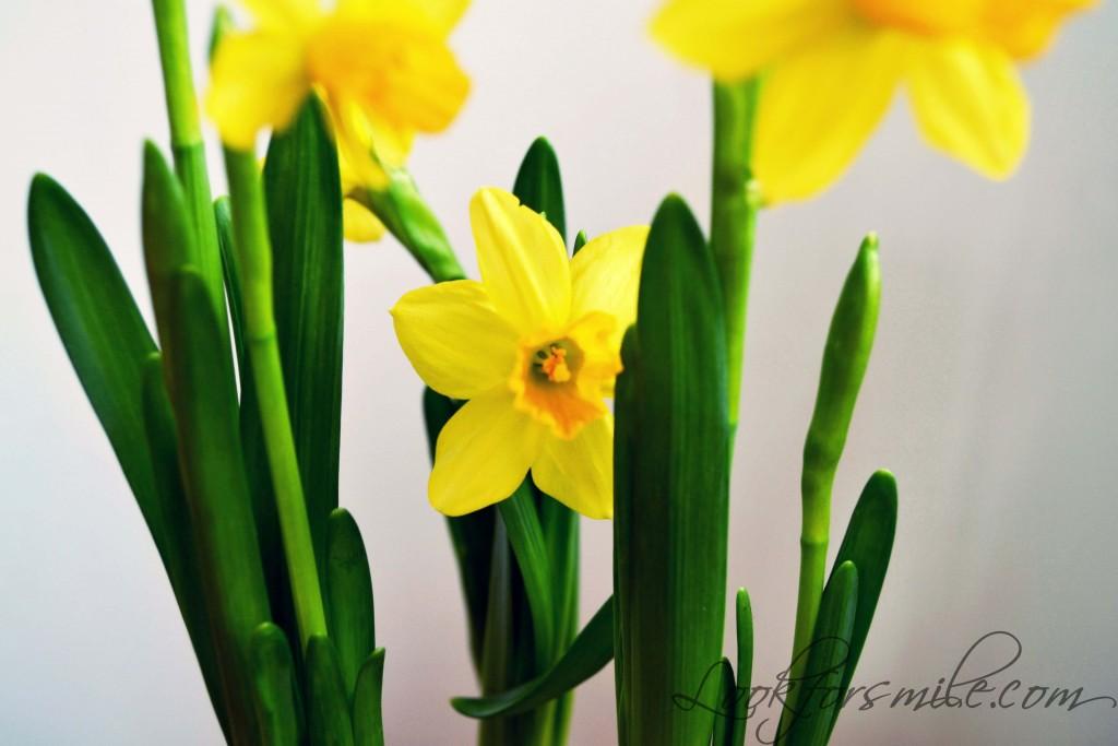 daffodils birthday