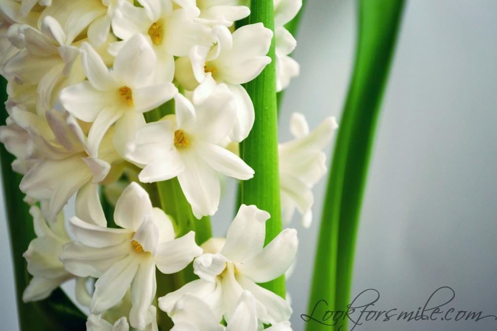 hiacintes ziedi dzimšanas diena