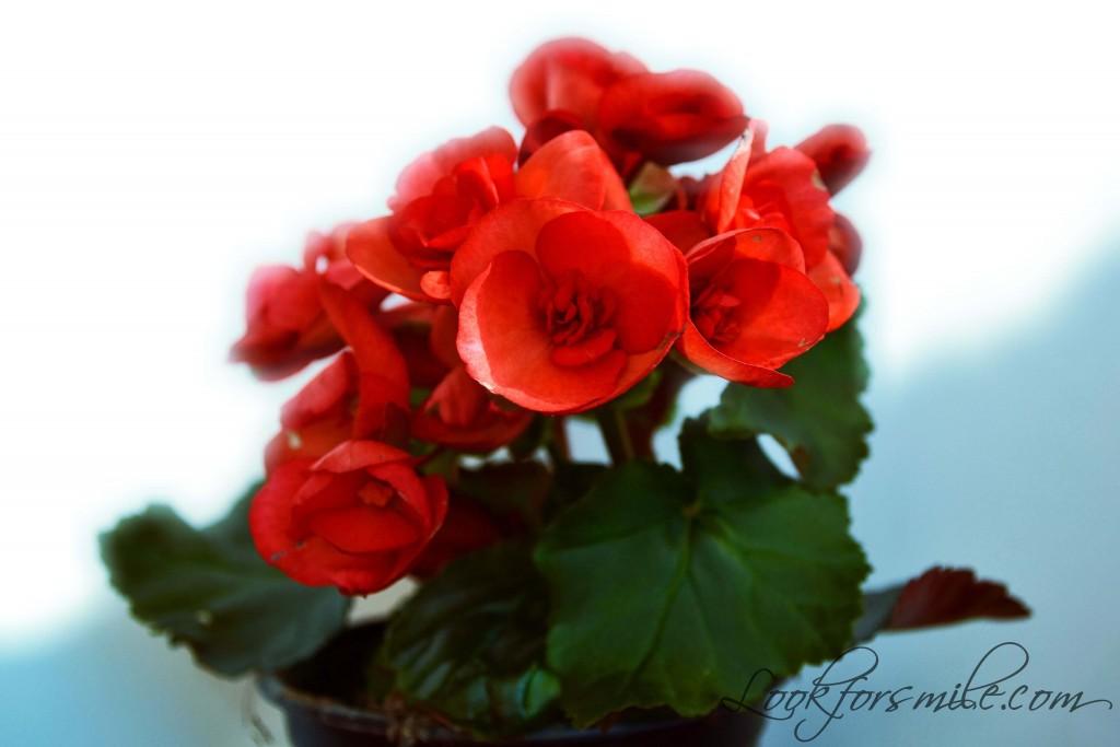 sarkana begonija