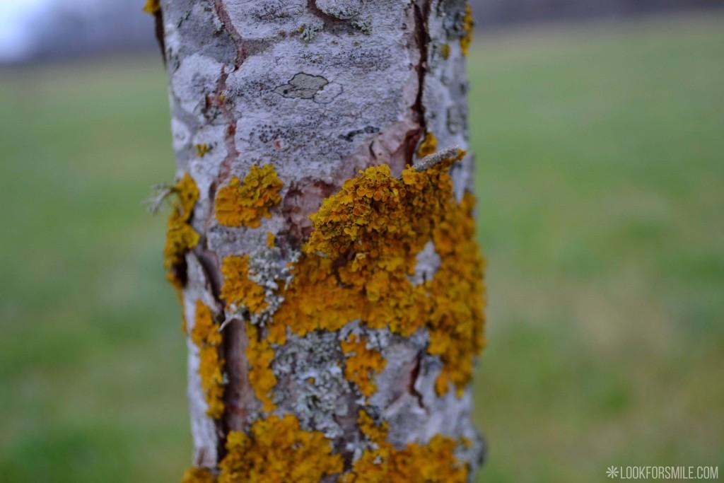 Ķērpis Xanthoria parietina - blogs - Lookforsmile.com