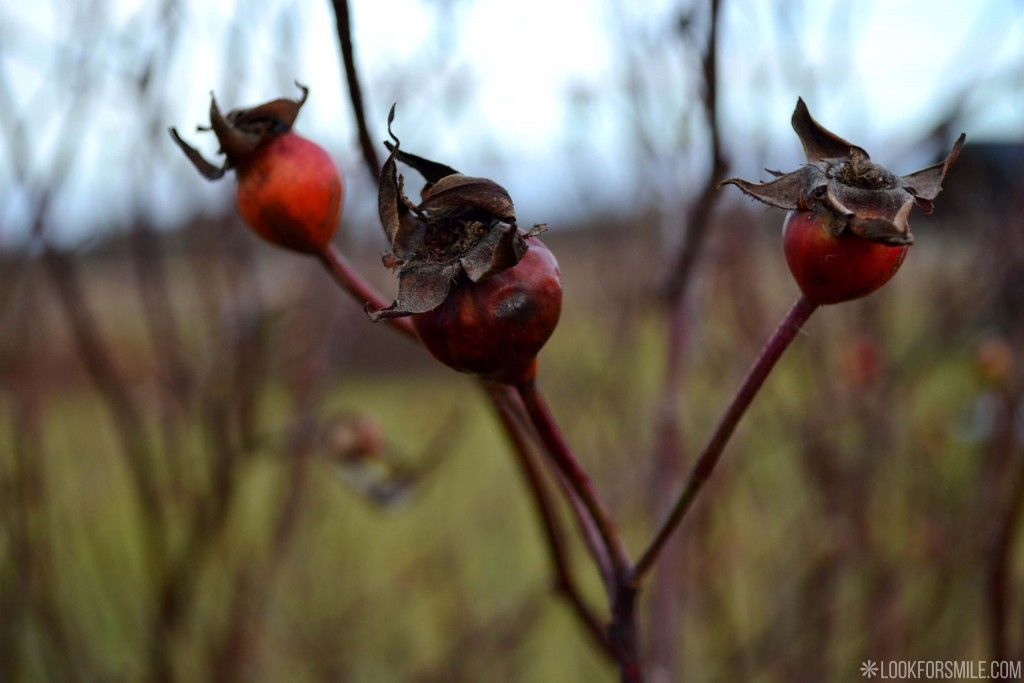 Mežrozīte daba - blogs - Lookforsmile.com