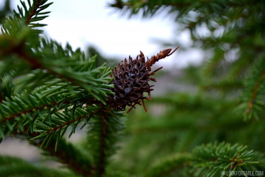 spruce cone nature - blog - Lookforsmile.com