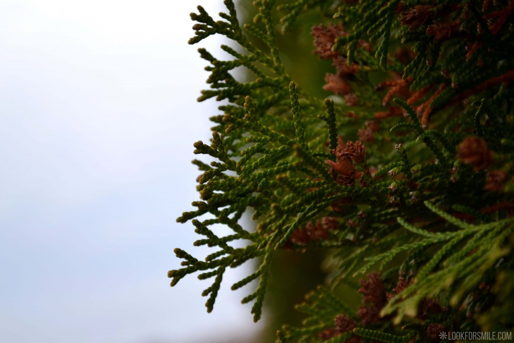 Thuja nature evergreen - blog - Lookforsmile.com