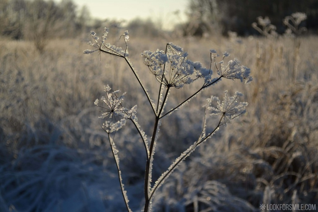 beautiful plant in snow, sunny winter day - blog - Lookforsmile.com