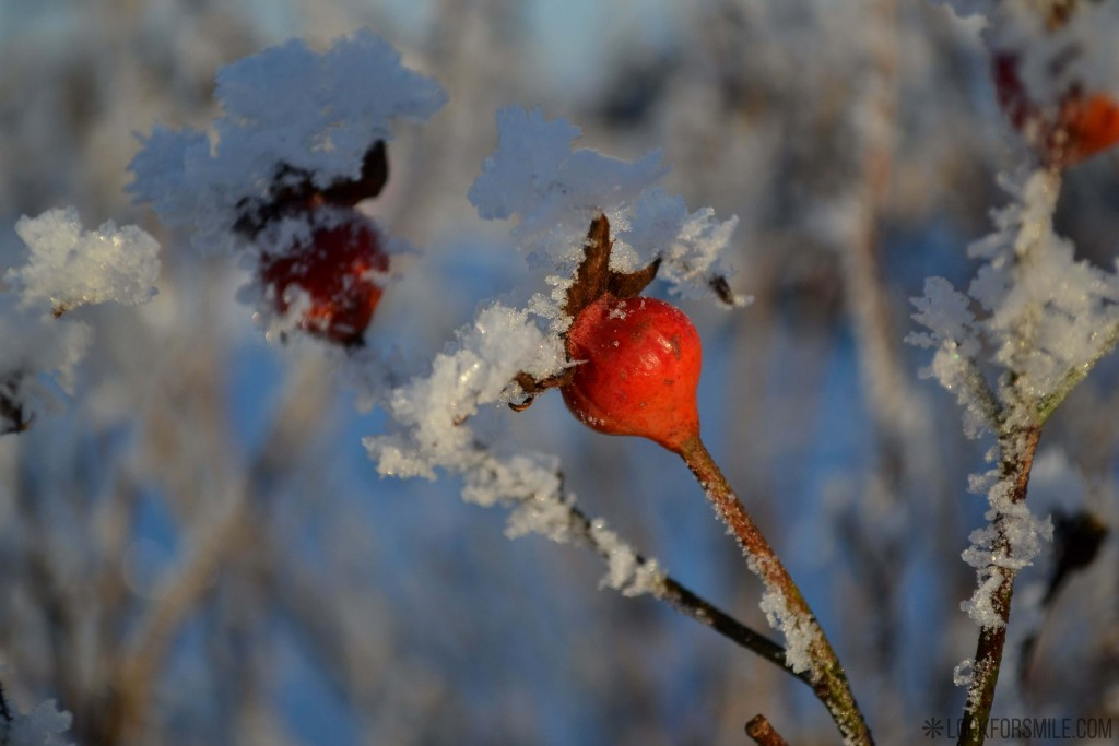 Dogrose fruit in snow, winter, nature - blog - Lookforsmile.com