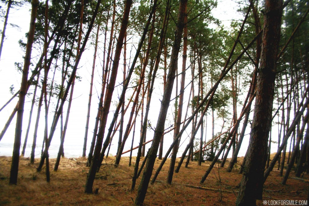 Baltic sea, pine forest, hiking in Latvia - blog - Lookforsmile.com