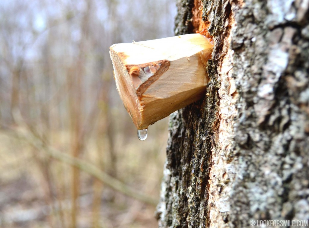 birch juice, nature, Latvia - blog - Lookforsmile.com