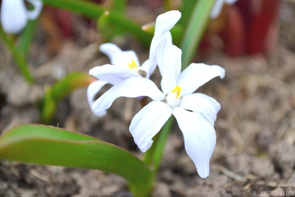Pavasara ziedi - blogs - Lookforsmile.com