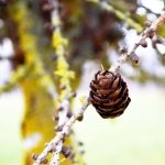 Nature pinecone - blog - Lookforsmile.com