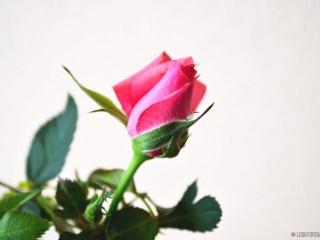 Birthday, aging, rose - blog - Lookforsmile.com