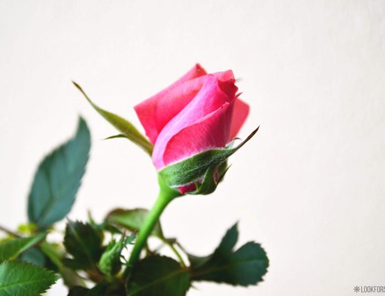 Dzimšans diena, novecošana, roze - blog - Lookforsmile.com